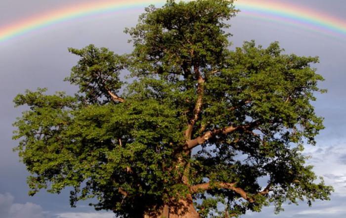 Baobab Rainbow