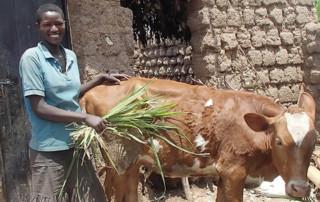 Girl Feeding a Cow